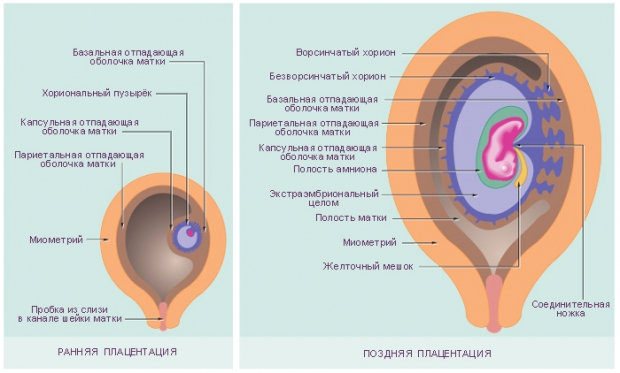 Что такое плацента и ее роль в развитие беременности