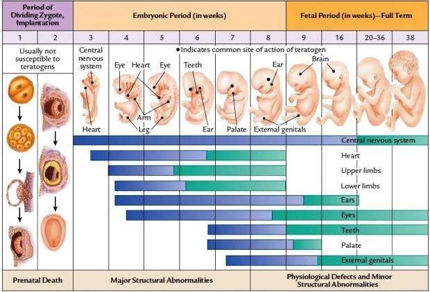 Развитие ребенка в утробе по неделям