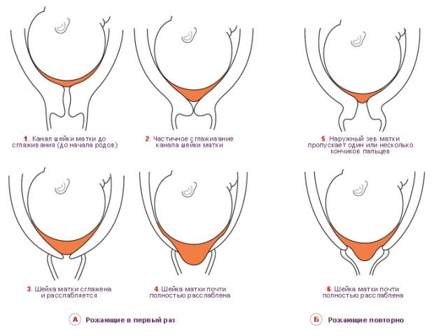 Шейка матки перед родами при беременности