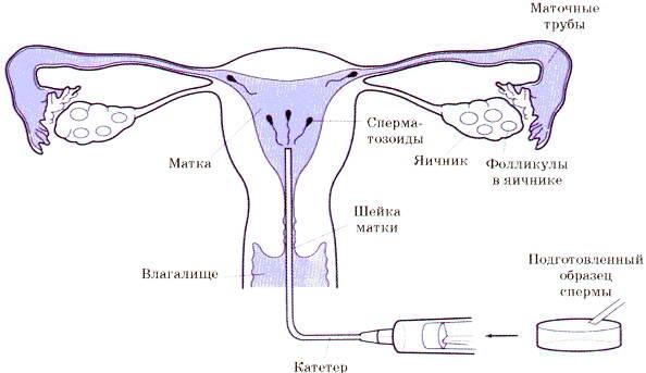 skolko-zhivut-spermatozoidi-posle